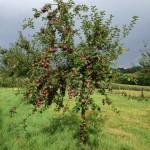 Jonge hoogstamboomgaard klaar voor pluk
