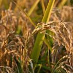 Oogstklare rijst