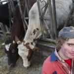 De koeien aan het voederhek