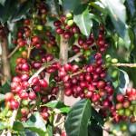 Rijpe rode koffiebessen