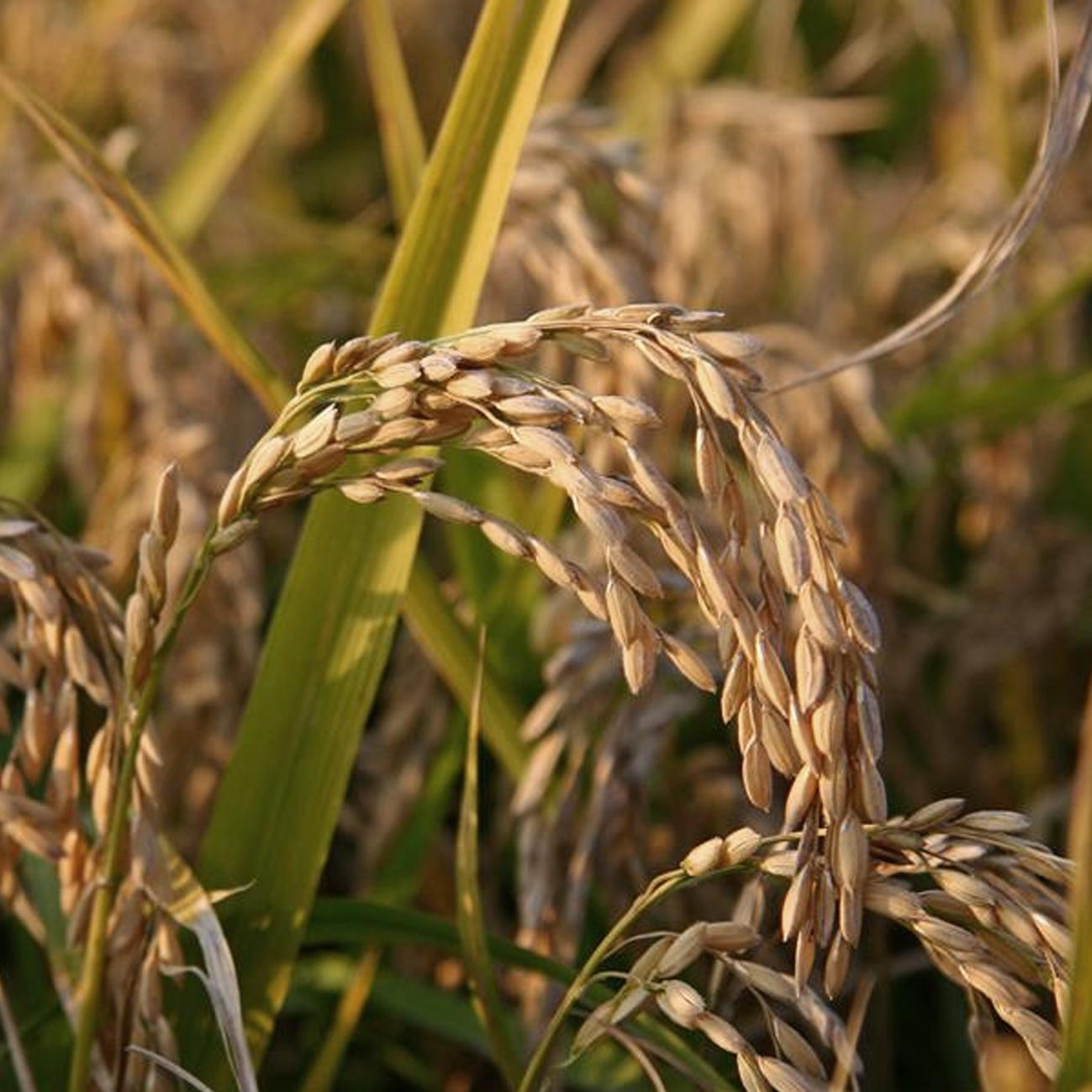 Cascina belvedere's rijst
