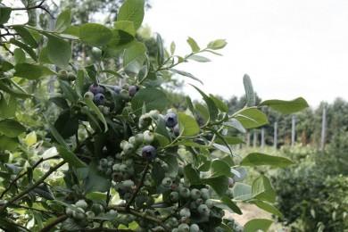 purfruit