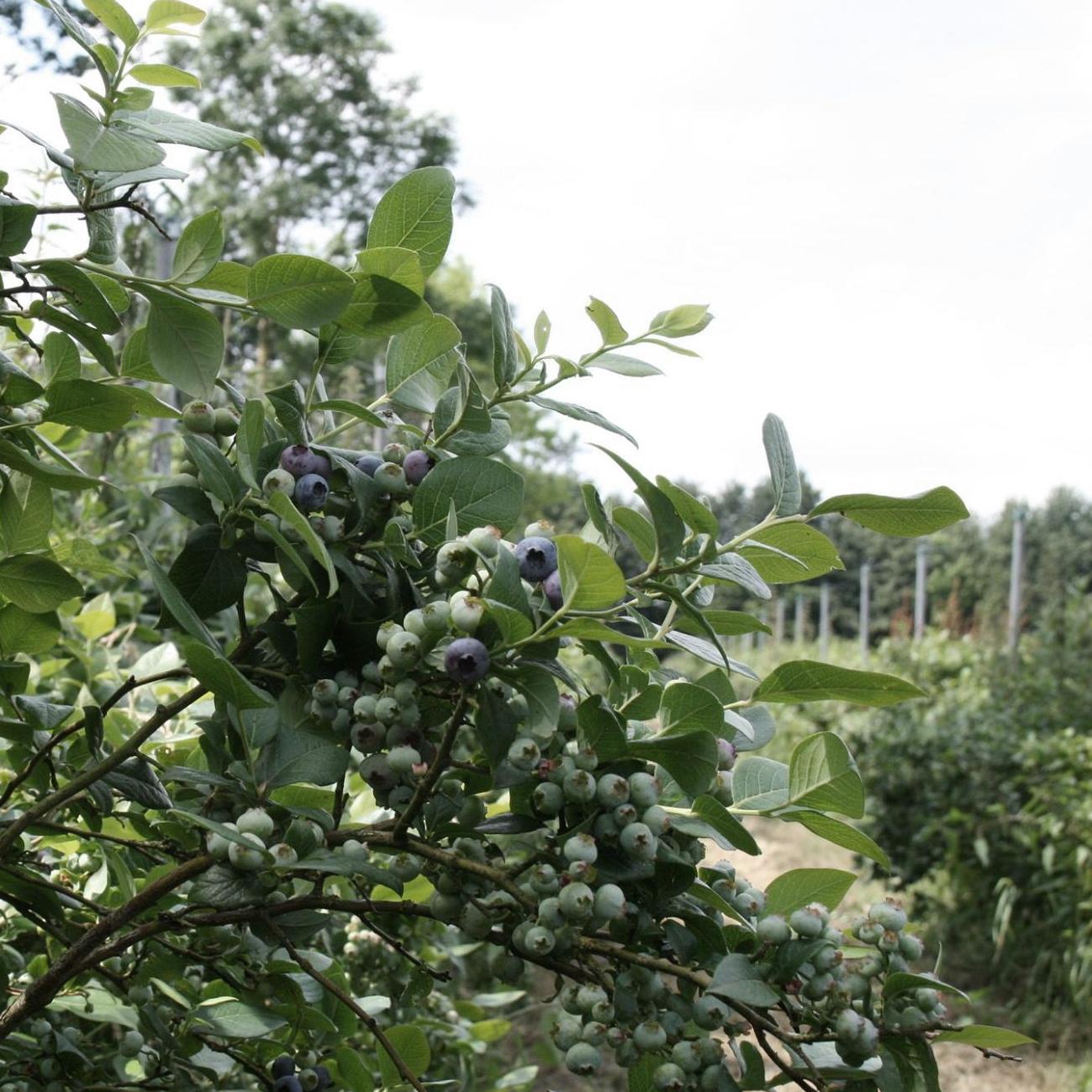 Blauwe bessen van 'Purfruit'
