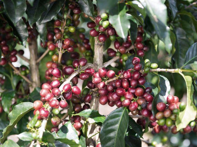 Mexicaanse koffie, voor de dagelijkse opstand.